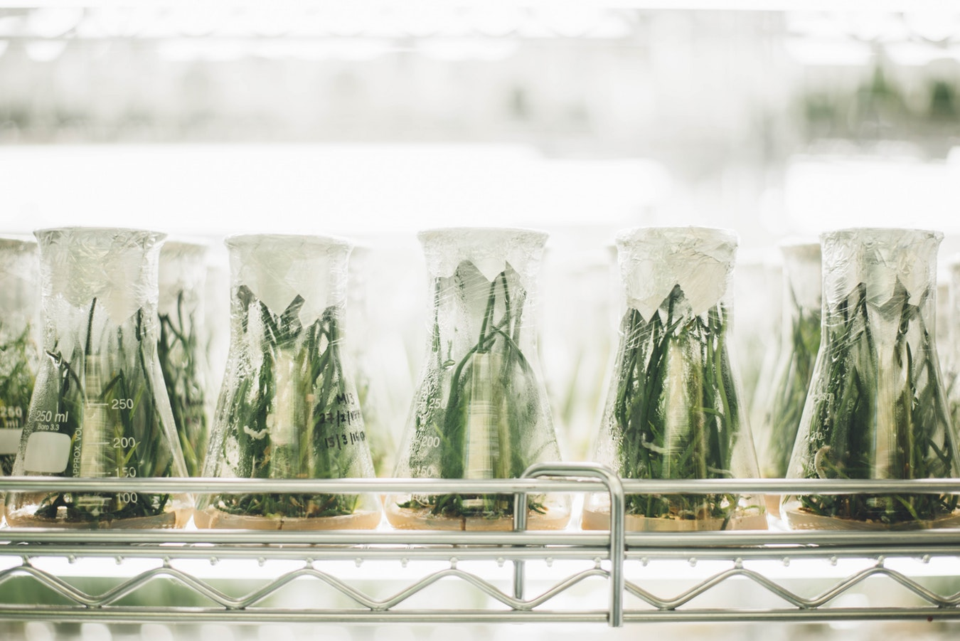Green plants in large sealed beakers in a laboratory