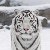 Tiger  Yue
